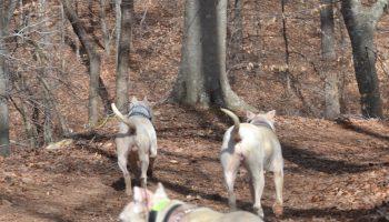 Three Dogo Argentino's running